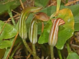 Arisarum vulgare - Wikipedia