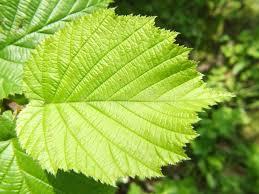 Hazel tree filbert leaf. This is a leaf of a tree which births ...