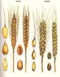 Селекция короткостебельных сортов озимой пшеницы ru  Одесская полукарликовая Короткостебельные сорта озимой пшеницы Чайка Обрий
