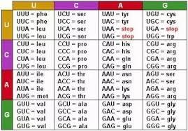 Amino Acid Translation Chart What Is Rrna Mrna Trna Quora