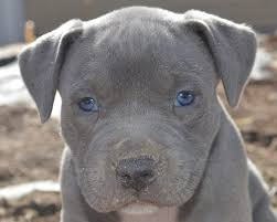 pitbull puppies.  Pitbull Pitbull Puppies Online Posted 4 Photos Throughout T