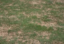 Brown Patch Disease Turf Brown Patch Yellow Patch And Other Rhizoctonia Leaf And