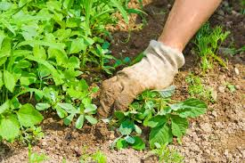 tips for controlling weeds in a vegetable garden