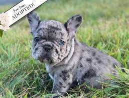 Mindy, AKC French Bulldog Puppy ...