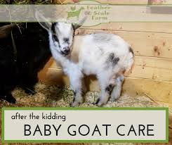 After The Kidding Baby Goat Care Feather And Scale Farm