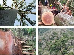 Resultado de imagen para tipos de madera como surá, pilón