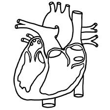 Small Picture Heart Picture in Human Anatomy Coloring Pages Heart Picture in