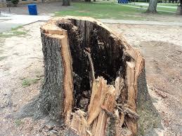 Rotten Tree Stump The Tree Was Cut Down And Revealed Its, Rotten Tree Stump  - Albert