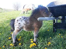 baby mini horse. Wonderful Horse This Adorable Mini Horse Is A Baby Appaloosa Throughout Earth Porm
