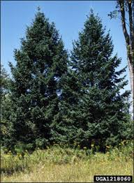douglas fir pictures. Plain Douglas The Douglas Fir Is Native To The Western Mountain States It Has Been  Planted Widely In Iowa For Ornamental And Windbreak Use On Fir Pictures S