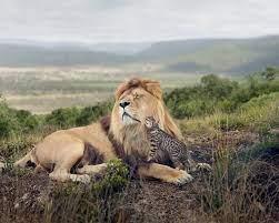 Download wallpaper 1280x1024 lion, cat ...