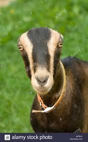 Female Lamancha Goat Stock Photo 12439037 Alamy