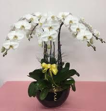 phalaenopsis plant display big avail in 5 6 8 or 9 stalks flower