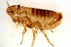 Size Of Bed Bugs Chart Bed Bugs Vs Fleas Difference And Comparison Diffen