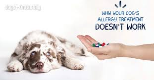 Why Your Dog's Allergy Treatment Doesn't Work