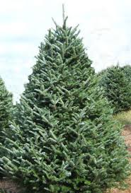 A Useful Guide To Pick The Right Christmas Tree  Real Christmas Types Of Fir Christmas Trees