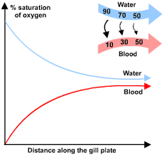 Gas Exchange Chart Gas Exchange In Fish S Cool The Revision Website