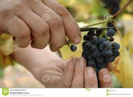 Image result for free images for pinot noir