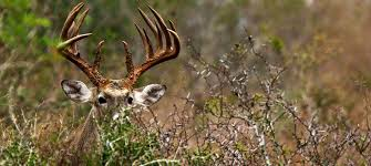 Image result for deer