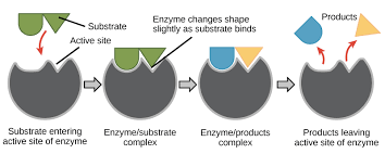 Enzymes And The Active Site Article Khan Academy