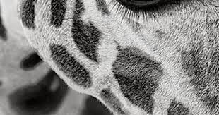 Giraffes, Eyes and Animals on Pinterest