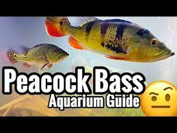 Types Of Bass Fish Chart Peacock Bass Aquarium Care Fish Species Guide