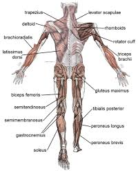 Extended from the base of the brain and down the center of the back, the spinal cord helps with many automatic functions, such as reflexes. Human Muscular System What S The Busiest Muscle In The Body Owlcation