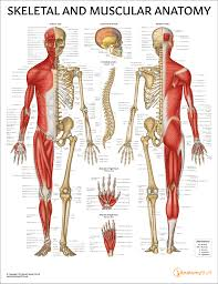 Skeletal And Muscular Anatomy Chart Poster Laminated