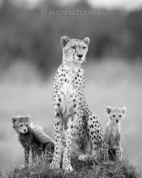 baby white cheetah. Interesting Baby Cheetah Mom Babies Black And White Nursery  Mom With Two Cubs   Photograph  On Baby White Cheetah H
