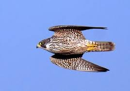 Image result for peregrine hawks