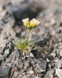 Engadin-Felsenblümchen – Wikipedia