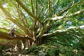 Branches And Hanging Roots Of <b>Giant</b> Banyan Tree Growing On ...