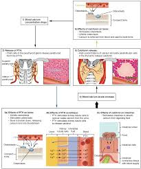 Openstax Anatomy And Physiology Ch17 The Endocrine