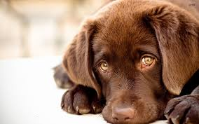 chocolate lab puppies wallpaper.  Chocolate 1920x1200 Chocolate Labrador Puppies Desktop Labrador Puppy Wallpaper For Lab Puppies Wallpaper N