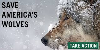 Wolf Species Size Chart Americas Gray Wolves A Long Road To Recovery