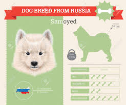 Samoyed Dog Breed Vector Infographics This Dog Breed From Russia