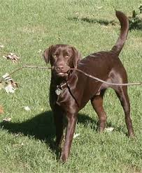 female chocolate lab. Delighful Lab A Chocolate Labrador Retriever Is Standing In Grass With A Long Stick  Its Mouth Intended Female Chocolate Lab R