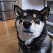 Image result for 犬 shiba  美しい
