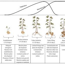 Potato Growth Chart Effect Of Water Stress At Different Growth Stages Of Potato