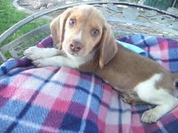 puppy 4 beagle puppy for in fresno ca usa