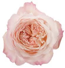 roses garden pink light keira