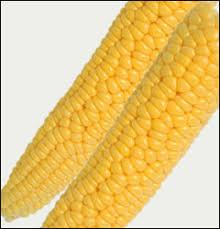Growing Popcorn Planting Growing Garden Corn Sweet And Popcorn