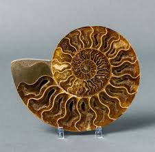 Ammonite Fossil for Sale - Madagascar ...