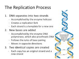 Chapter 12 3 Pgs Dna Replication The Replication Process 1 Dna