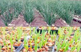 Onions Farming Guide