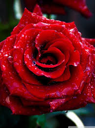 Beautiful Wallpapers Of Roses For ...