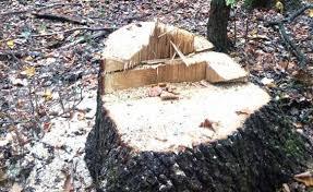 Стан додержання законодавства у сфері захисту лісових ресурсів перебуває на контролі Новопсковського відділу місцевої прокуратури