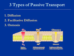 3 Types Of Passive Transport 3 Types Of Passive Transport Magdalene Project Org