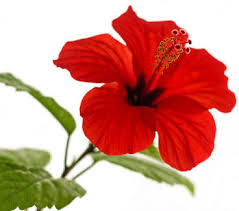 hibiscus flowers dehydrated hibiscus flowers artificial plants foliage rosun