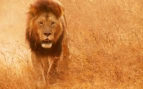 lion hd wallpaper 1101530